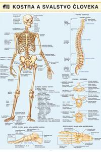 Kostra a svalstvo človeka
